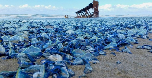Billions of Blue Jellyfish Wash Up on American Beaches