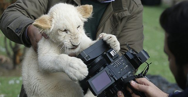 The arrival of African white lion puppies in Iran